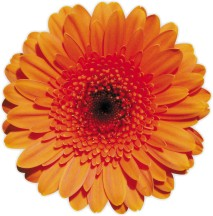 An image of an Orange flower